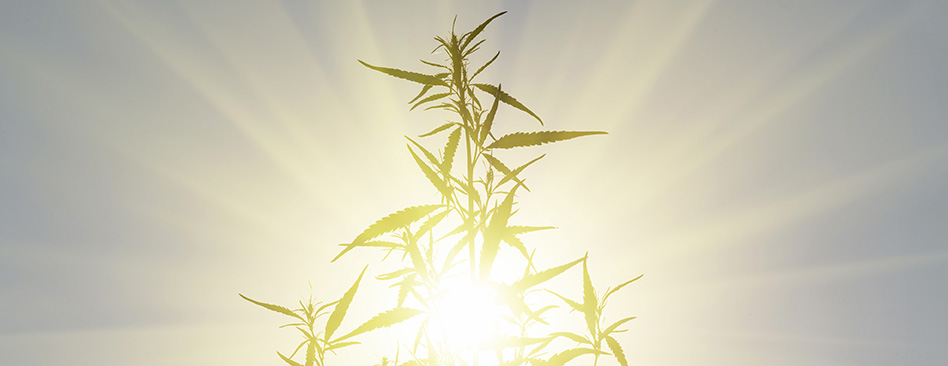 cannabis investor